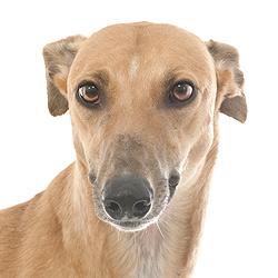 Greyhound Adoption Fran Female Red