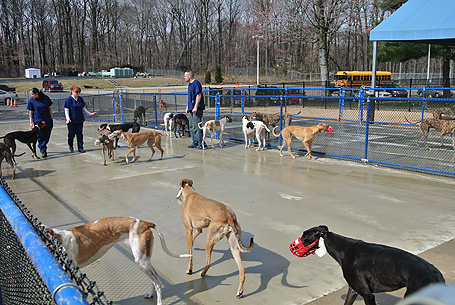 New Greyhounds