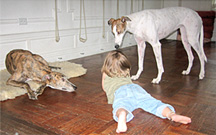 Greyhounds with a kid