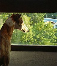 Greyhound in a hotel room