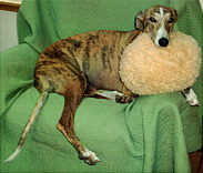 A happy Greyhound in its bed