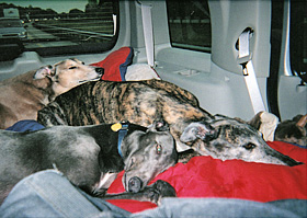 Greyhounds travel by car