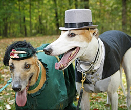 Greyhounds in costumes